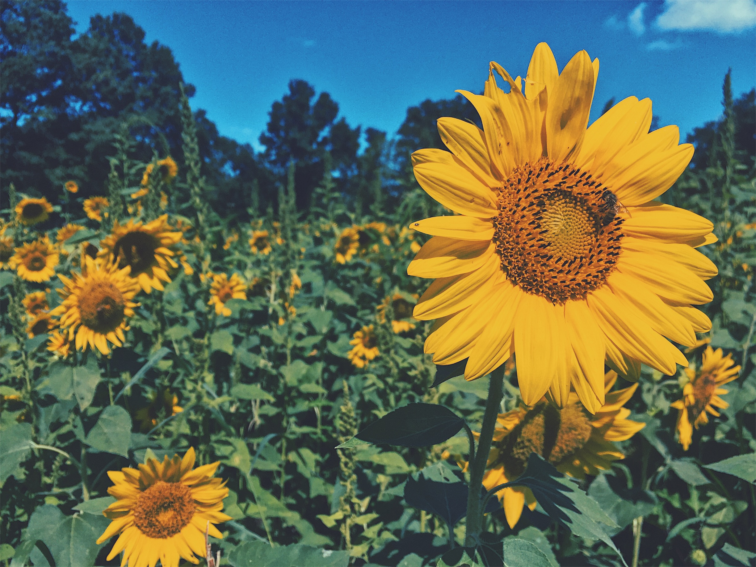 Processed with VSCO with p4 preset – The Sunflower Child